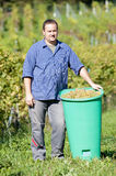 Vintner During The Harvest Royalty Free Stock Photography