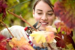 Vintner harvesting grapes. Smiling vintner harvesting a bunch of grapes in vineyard Royalty Free Stock Photography