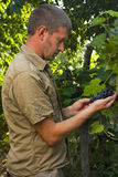 Vintner inspecting grape harvest Royalty Free Stock Photos