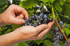 Vintner inspecting grapes in close up. Close up of the hands of a vintner or grape farmer inspecting the cabernet sauvignon grape harvest Royalty Free Stock Image
