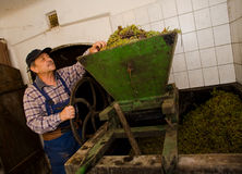 Vintner pressing grapes. Vintner pressing grape during the vintage Stock Images