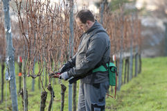 Vintner is pruning in the vineyard. Young Vintner pruning wine grapes with an electrical pruner Royalty Free Stock Photos