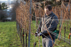 Vintner is pruning in the vineyard. Young Vintner pruning wine grapes with an electrical pruner Royalty Free Stock Photo