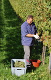 Vintner in the vineyard Royalty Free Stock Images