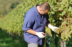 Vintner in the vineyard Royalty Free Stock Photography