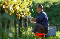Vintner in the vineyard. Young vintner is harvesting white grape in the wineyard by sunny wheather Royalty Free Stock Images