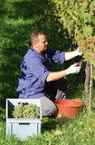 Vintner in the vineyard. Young vintner is harvesting white grape in the wineyard by sunny weather Stock Photos