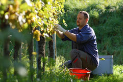 Vintner in the vineyard. Young vintner is harvesting white grape in the wineyard by sunny weather Royalty Free Stock Images