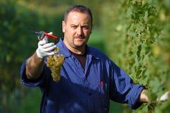Vintner in the vineyard Stock Photo