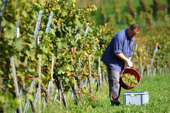 Vintner in the vineyard. Young vintner is harvesting white grape in the vineyard by sunny weather Royalty Free Stock Image