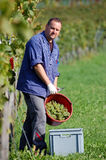 Vintner in the vineyard. Young vintner is harvesting white grape in the vineyard by sunny weather Stock Photography