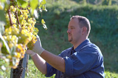 Vintner in the vineyard. Young vintner is harvesting white grape in the vineyard by sunny weather Royalty Free Stock Images