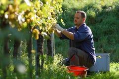 vintner wineyard Obrazy Royalty Free