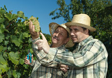 Vintners examinant des raisins Photos stock