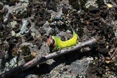 Vinula de Caterpillar Cerura, la polilla del puss, y hormiga Imagen de archivo