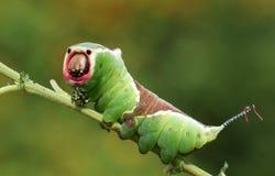 Vinulais sbalorditivi di Caterpillar un Cerura del lepidottero del micio che si appollaiano su un ramoscello in terreno boscoso fotografie stock libere da diritti