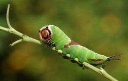 Vinulais sbalorditivi di Caterpillar un Cerura del lepidottero del micio che si appollaiano su un ramoscello in terreno boscoso immagine stock
