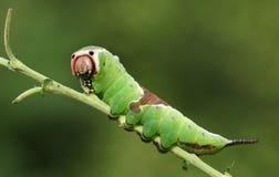 Vinulais sbalorditivi di Caterpillar un Cerura del lepidottero del micio che si appollaiano su un ramoscello in terreno boscoso fotografia stock