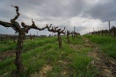Vinväxter någonstans i Catalonia Royaltyfria Foton