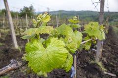 Viny Blätter Lizenzfreie Stockfotos
