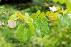 Viny bladeren Stock Afbeeldingen
