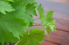 Viny bladeren Royalty-vrije Stock Afbeelding