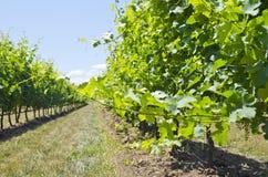 vinyard ландшафта стоковые изображения