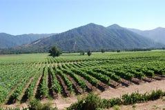 vinyard Royaltyfri Fotografi