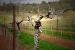Vinyard. Grape vine at winery in Hunter Valley Royalty Free Stock Photos