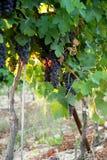vinyard Obrazy Stock