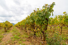 Vinyard in the ardeche Stock Photos