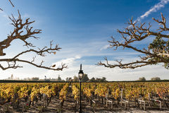 Vinyard in Bordeaux in autumn. Vineyard in Bordeaux in autumn with the branches of plane trees stock photo