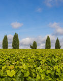 Vinyard with Cypress trees Stock Image