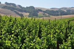 Vinyard de Califórnia do norte Fotos de Stock