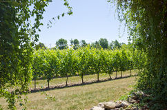Vinyard Landscape Royalty Free Stock Photography