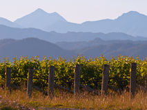 Vinyard mountain backdrop. A view of a vineyard with misty mountains backdrop Stock Image
