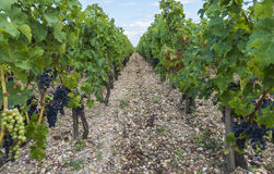 Vinyard in Saint Julien Royalty Free Stock Image