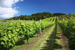 Vinyard in summer time, Auckland, New Zealand Royalty Free Stock Photography
