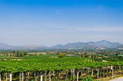 Vinyard und Mountain Viewen Stockbild