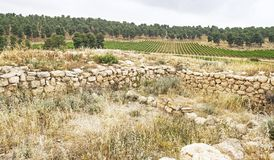 Vinyard vicino alle rovine di una sinagoga antica in Israele immagine stock libera da diritti