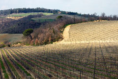 Vinyard vicino a Montepulciano, Toscana, Italia Fotografie Stock
