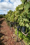 Vinyards Stock Images