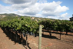 Vinyards Royalty Free Stock Photos
