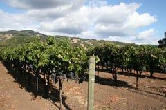 vinyards Стоковые Фотографии RF