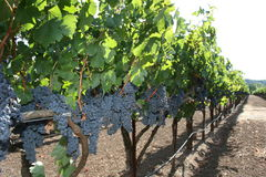 Vinyards Stock Image