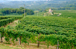 Prosecco vineyards in summer. Prosecco vinyards near Conegliano, just before harvest Royalty Free Stock Images