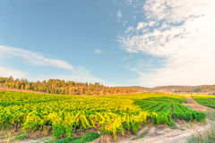 Vinyards. At the golden hour Royalty Free Stock Photo