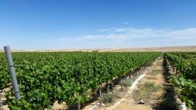Vinyards growith w pustyni Obraz Stock