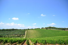 Vinyards i drzewo oliwne krajobraz Zdjęcia Stock