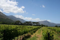 Vinyards near Franschhoek  Royalty Free Stock Photo